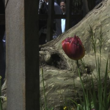 A photograph of a tulip next to a tree that seems to be in a cage.