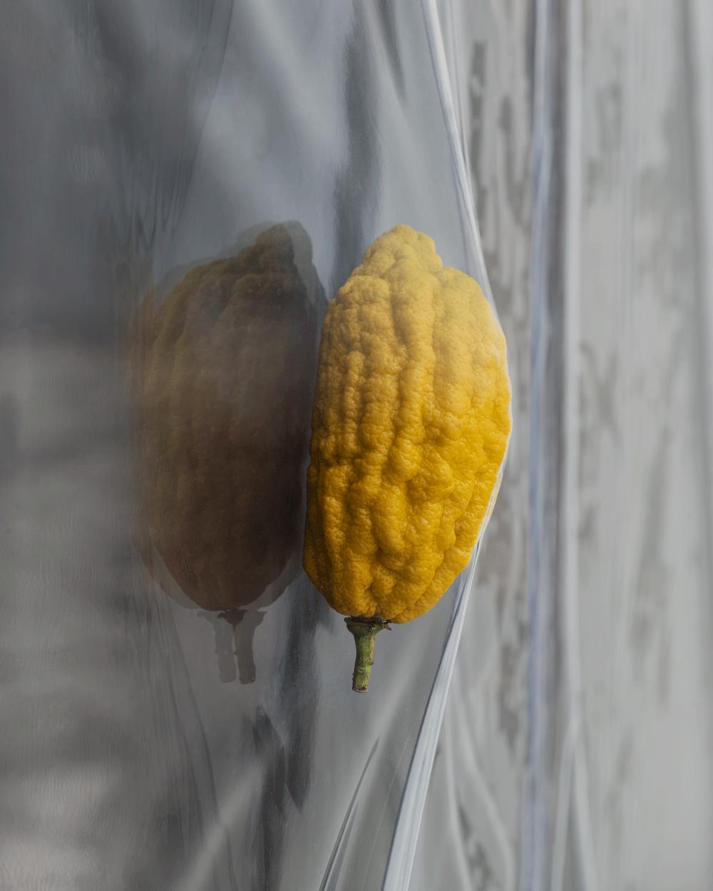 Amitai Romm, Keeper (2019) Citron fruit, plastic, vacuum pump, tubes and fittings. Installation view, Macula Lutea, VEDA, Florence (2019). Photograph by Flavio Pescatori.
